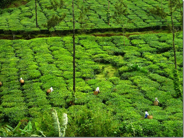 Tea plantation in Coorg