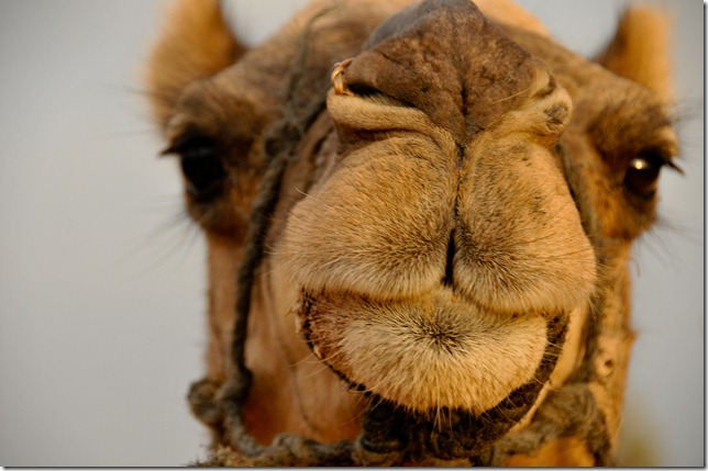Rhea's camel that she would later rechristen Lawrence of Arabia