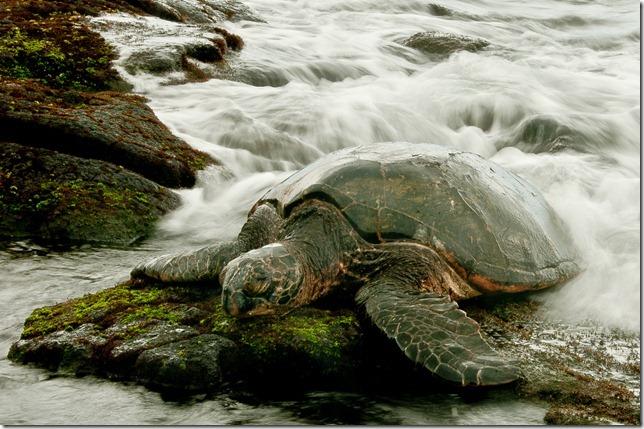 Green Sea Turtle @ Punalu'u, Hawaii