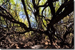 Volcano roasted trees at the Puako PetroGlyph Preserve