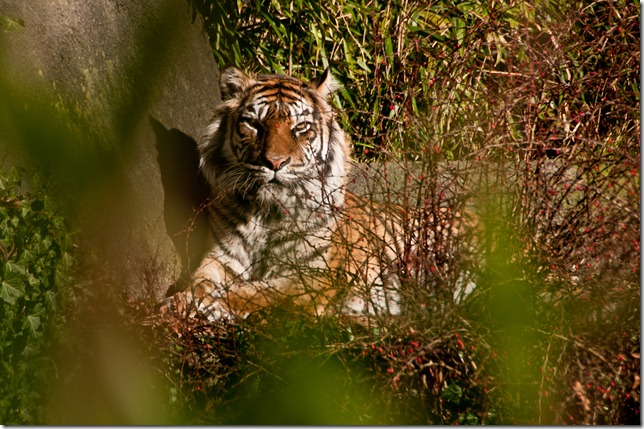 Bengal tiger at Woodland Park Zoo, Seattle (2)