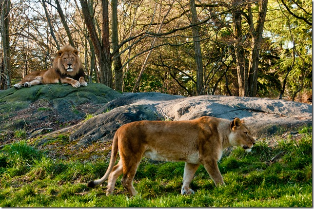 Lion and Lioness at Woodland Park Zoo, Seattle