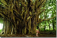 Massive Banyan Tree at Hilo
