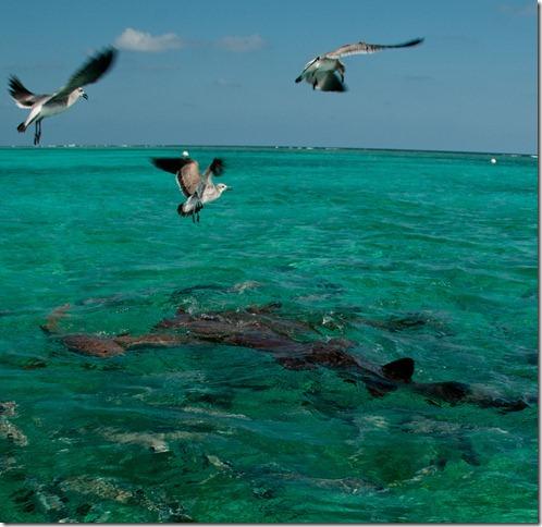 Nursing Sharks, San Pedro, Belize