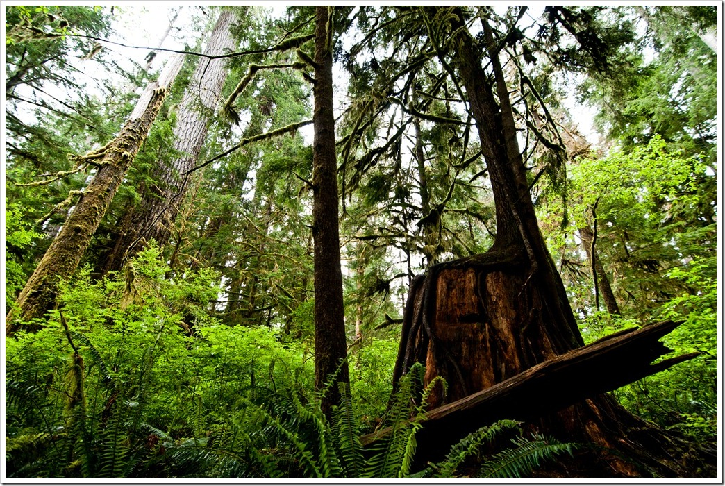 The Rain Forest at Lake Quinault