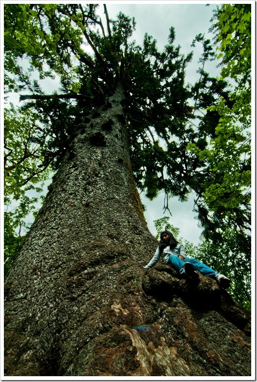 Largest Sitka Spruce Tree in the World, Quinault WA
